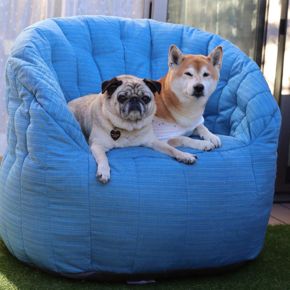 パグ犬と柴犬が並んで座るにも余裕のある大き目ブルーのソフトソファ