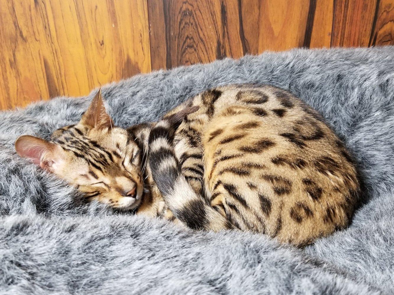 ヒョウ柄の猫とプレミアム猫ベッド